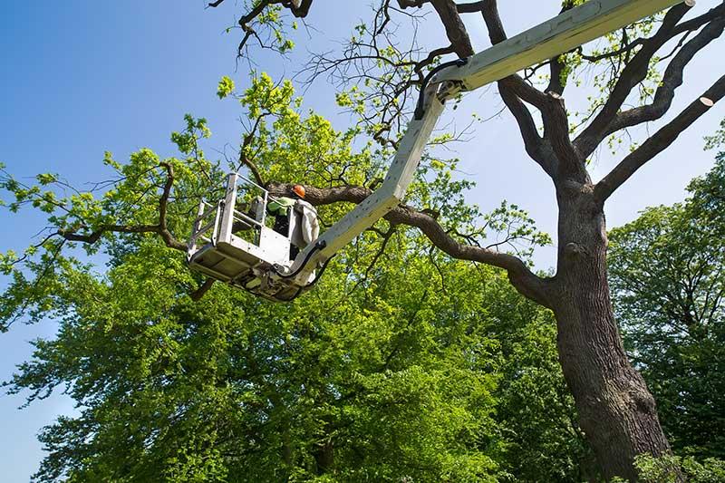 Gardener or Tree Surgeon Pruning Tree Branches