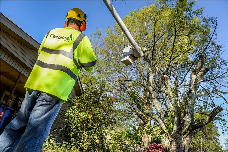 Carolina Tree Care consulting arborist near me