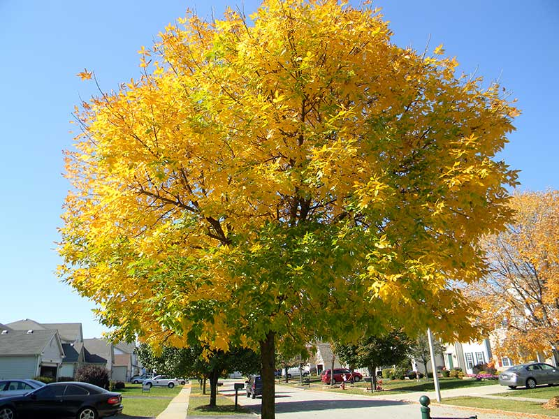 White Ash Tree in Autumn