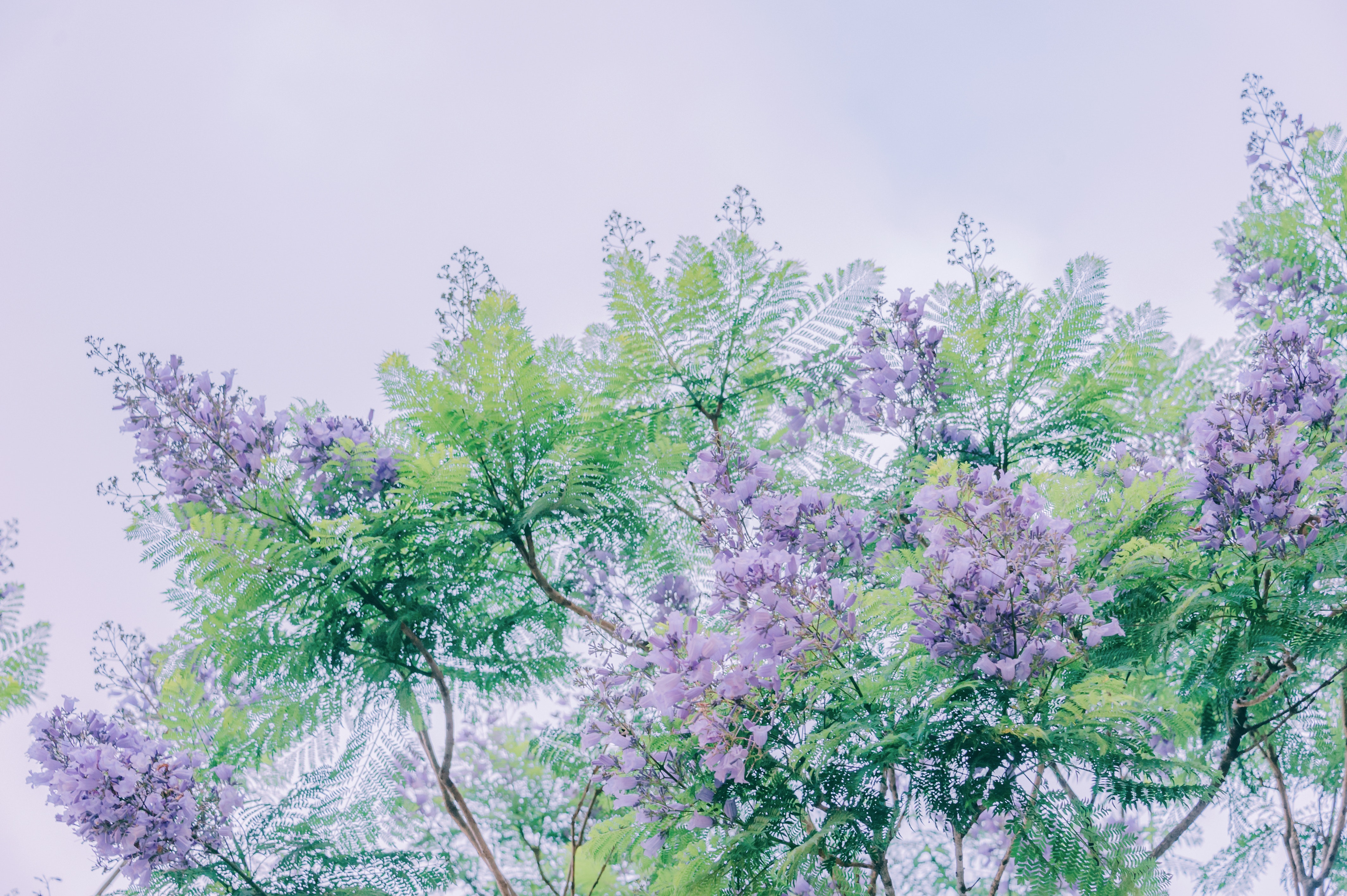 plant health care charlotte nc, crepe myrtle nc, crepe myrtle disease, crepe myrtle tree disease