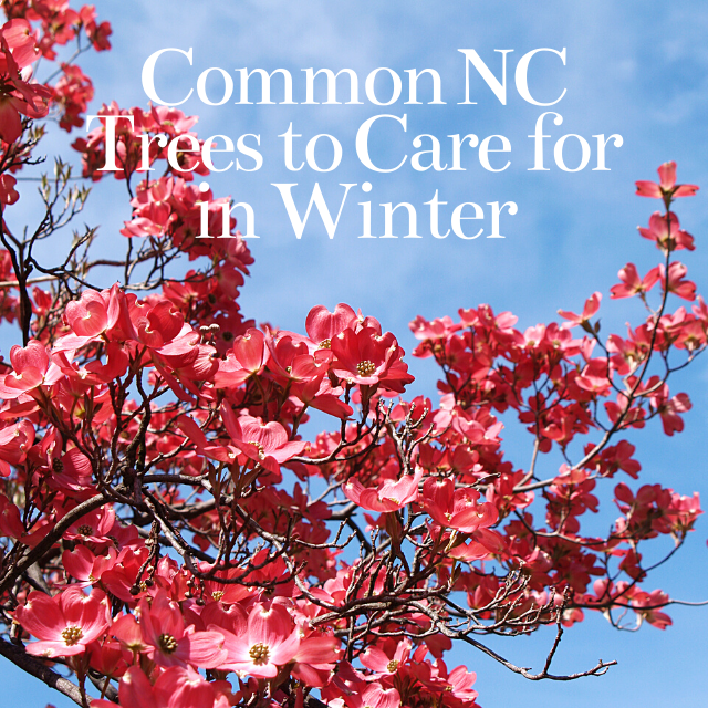 common north carolina trees to care for in the winter
