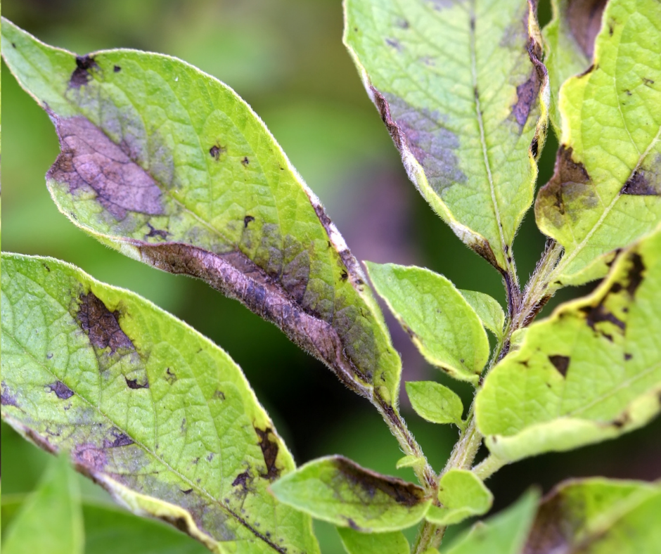 dark spots on leaves can be a sign of a distressed tree
