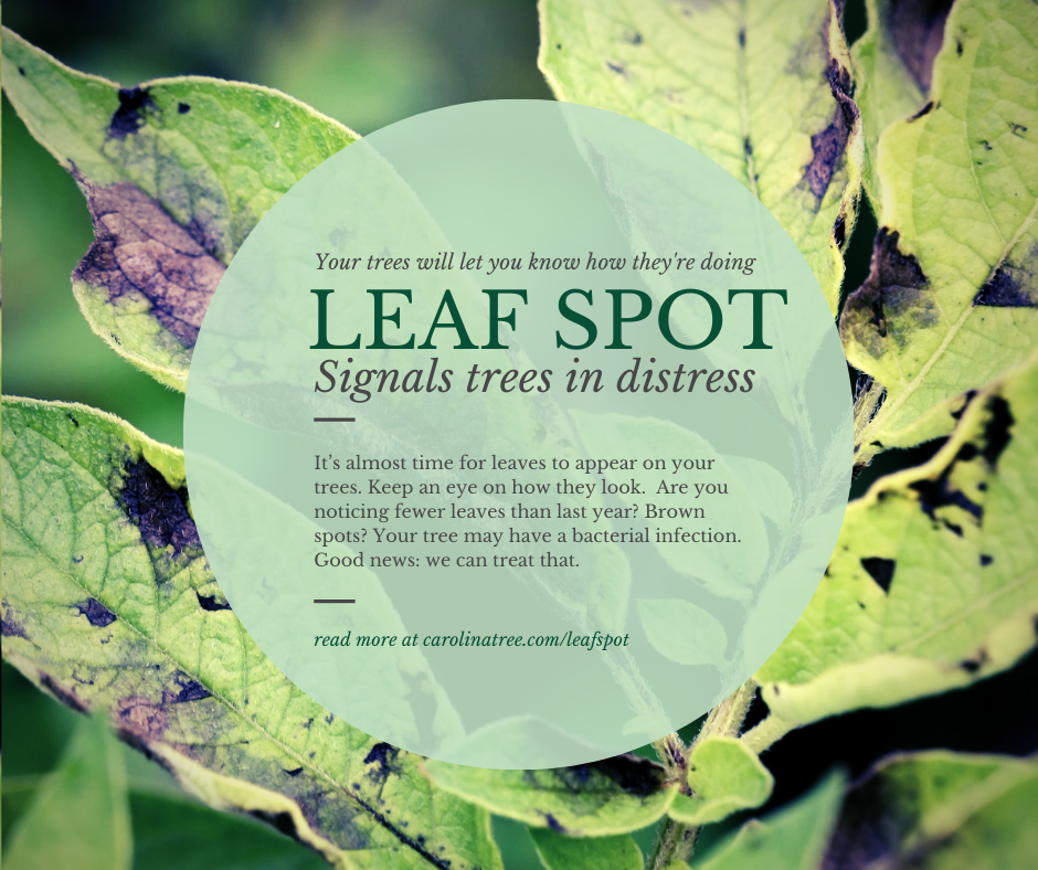 Leaf spot is a sign of a distressed tree.
